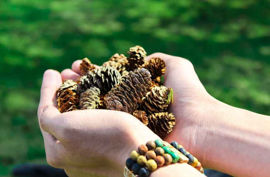 close up photo of person holding pine cones